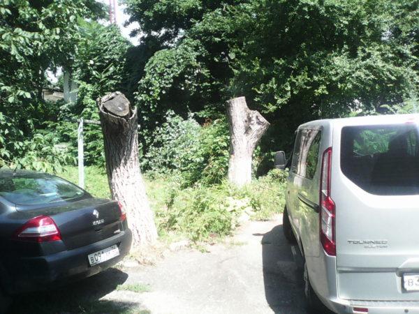 Погибшие деревья после омолаживающей обрезки с побеленными стволами